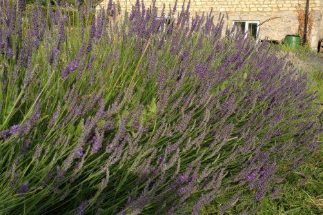 Lavender1 (1024x683)